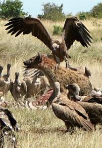 220px-Hyena_vs_Vultures